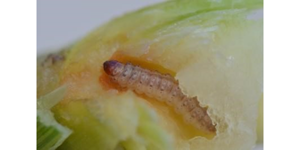 Figure 1. European corn borer larvae damage. (Photo: Bruce Potter)