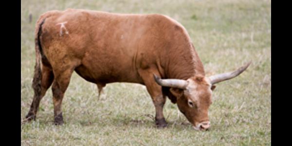 New cattle brand registration program