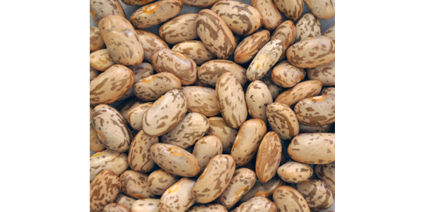 Pinto beans are one of several crops for which North Dakota ranks No. 1 in production. (NDSU photo)