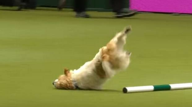 Jack Russell runs wild on obstacle course