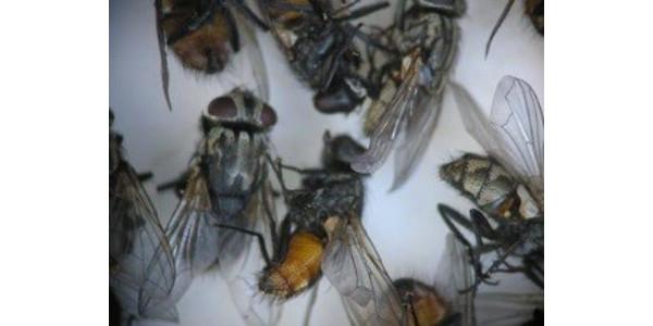 Figure 1. Face flies. (Photo: Lee Townsend, UK)
