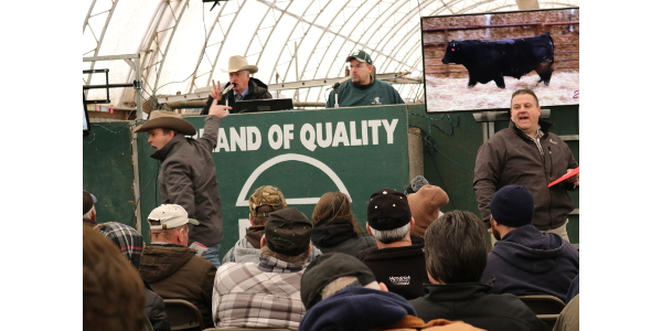 Buyers bid aggressively for top-indexing bulls at the 2017 MCA-MSU Bull Evaluation Sale, March 18 in Crystal, Mich. (Courtesy of Michigan Cattlemen's Association)