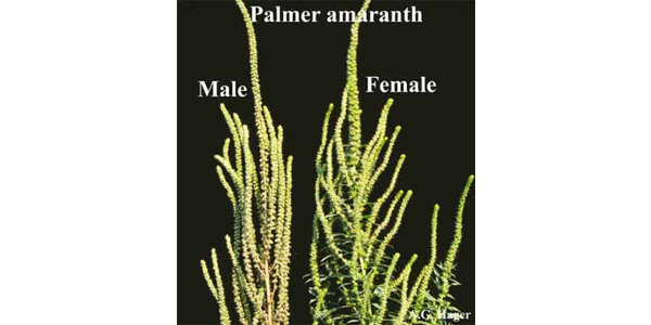 Seed head of Palmer amaranth, which has female and male plants. Male Palmer (on left) plants are soft to the touch and contain pollen. Female Palmer (on right) heads are prickly to the touch and contain seed. (Courtesy of iGrow.org)