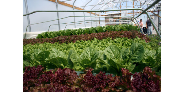 Visitors to the field day will get to visit the hydroponic lettuce house, in addition to high tunnels and field plantings. (Courtesy of Webb City Farmers Market)