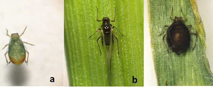 Figure 1. (a) a bird cherry oat aphid, (b) winged English grain aphid, and (c) a parasitized aphid found in wheat fields in February 2017. (Photo credits: Yaziri Gonzales).