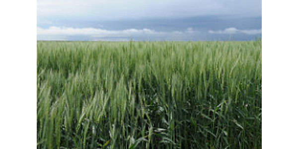 The results are in: The No. 1 wheat planted in Kansas for the fifth consecutive year is Everest, a variety developed by Kansas State University. (Kansas State University)