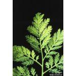 Annual wormwood, Artemisia annua L., yields the important antimalarial drug artemisinin.