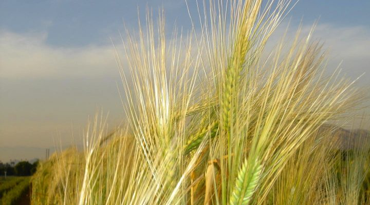 Barley genome sequenced