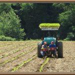 planting tobacco