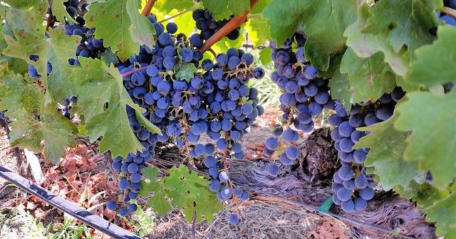 """Practical Grape Growing"" Seminar"