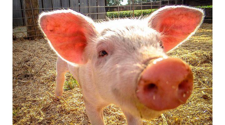4-H Swine Club to hold fundraiser