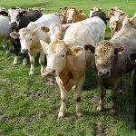 stocker cattle