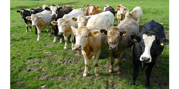 stocker cattle