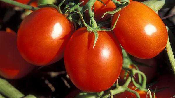 Costs, returns of processing tomatoes