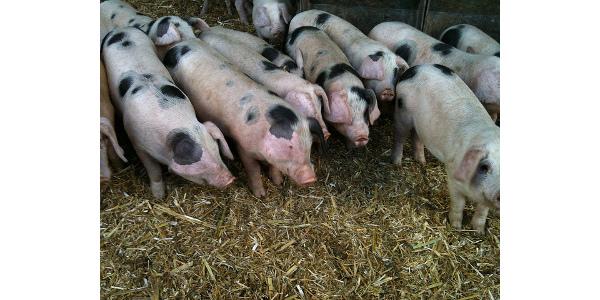 Weanling pig diets