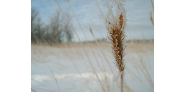 wheat in snow