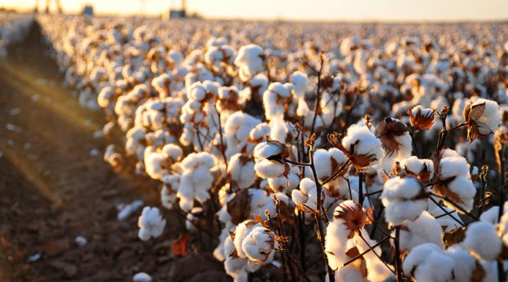 An improved genome for Upland cotton