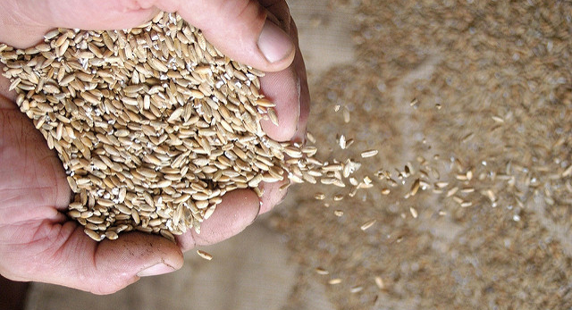 Farmers to plant record low wheat acres
