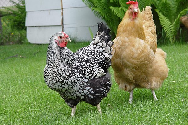 More Consumers Are Keeping Chickens In Their Own Backyards, But The Desire  For Fresh Eggs Can Come With Some Risks. (Wikimedia Commons)