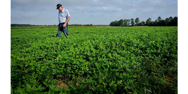 Bean farmer in field. (Courtesy of North Carolina State University)