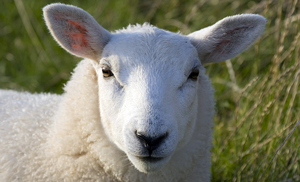 Efforts made to return sheep to coal country