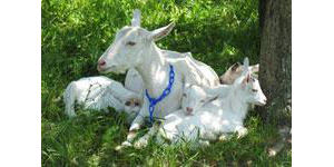 Dairy goat workshops, April 19