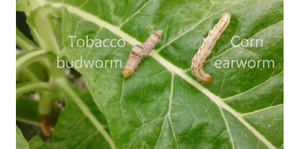 Tobacco budworms (Heliothis veriscens) and corn earworms (Helicoverpa zea) are two common crop-damaging caterpillars. (Screen Shot)