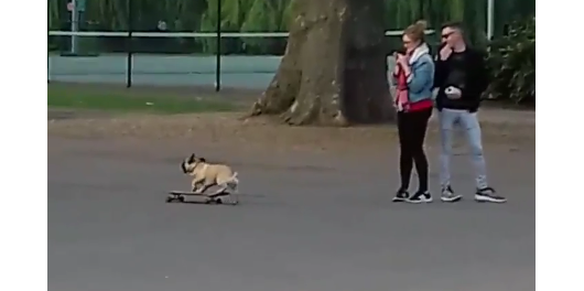 Dog skateboards better than many humans