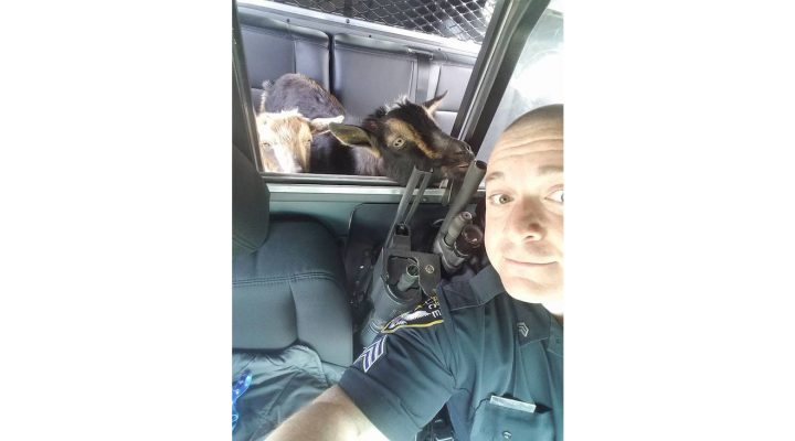 Lost goats herded into cop car