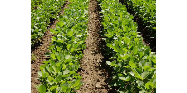 Effective cultivation can add durability to weed management programs. (Source: Lisa Behnken)