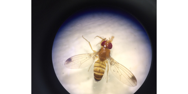 Male spotted-wing drosophila fly caught in a yeast/sugar water trap. (Photo: Grant Palmer)