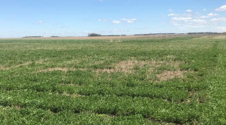 Alfalfa winter kill in south eastern South Dakota. (Courtesy of iGrow.org)