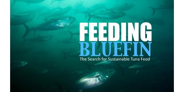 feeding tuna