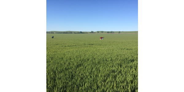 Wheat tour participants scout a field in Chase County during the 2016 tour. (Courtesy of Kansas Wheat)