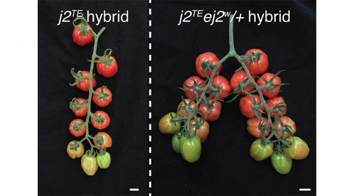 Unlocking yield potential of tomatoes