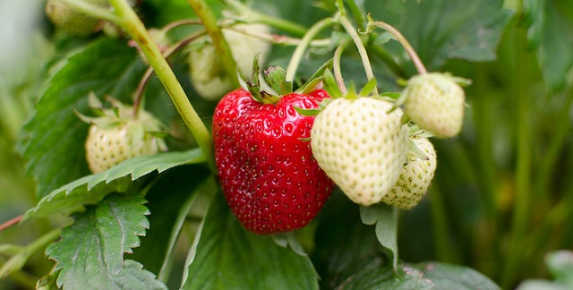Jury rules with school in strawberry fight