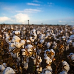 Cotton grown at the Fisher Delta Research Center in early fall. (Photo by Kyle Spradley | © 2014 - Curators of the University of Missouri via Flickr)