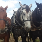 Powerful and versatile draft horses are being used in Wisconsin to help a cellphone company upgrade its towers among other jobs in the fields and forests. (Mo Barger via Flickr)