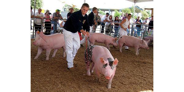 swine judging, livestock judging