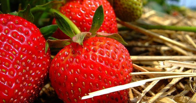 Improving yields in strawberries