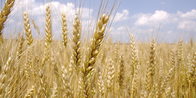 Wheat production optimism evaporates amid hot weather