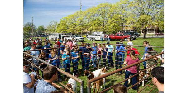 Students compete in livestock judging during the 2017 UK Agricultural Field Day. (PHOTO: Matt Barton, UK Agricultural Communications)
