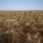 Field of hard red winter wheat in Gove County, Kansas. (C. K. Hartman via Flickr)
