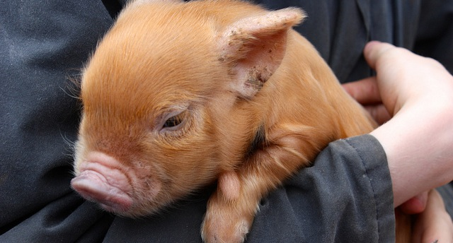 Researchers study stress of weaning pigs