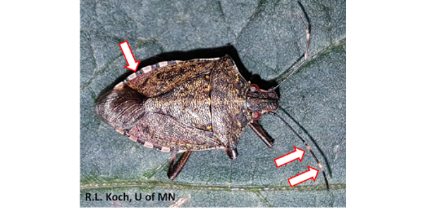 New stink bug reference