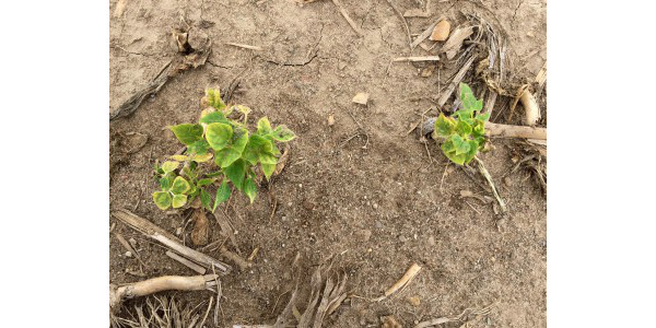 Dry bean injury symptoms observed in a Michigan field in 2016 where Balance Flexx was applied in 2015. (All photos by Christy Sprague, MSU)