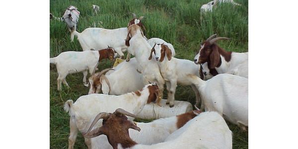 GoatsResting2