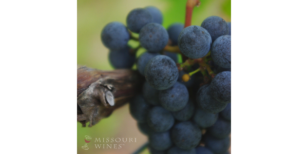 Chambourcin. (Courtesy of Missouri Wine)