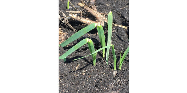 Photo 1 - Seedlings with the yellow, constricted appearance symptomatic for heat canker (photo courtesy of Byron Fisher)