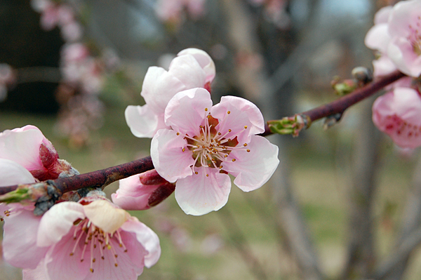 Georgia's peach crop expected to be better